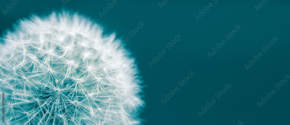 Fototapety, obrazy: Dandelion head macro closeup photo isolated on a green cyan background in wide panorama format and large empty space. Photo color toned with green and blue filter.