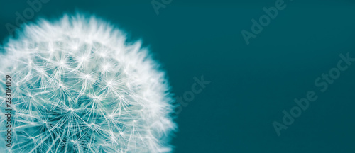 Dandelion head macro closeup photo isolated on a green cyan background in wide panorama format and large empty space. Photo color toned with green and blue filter.