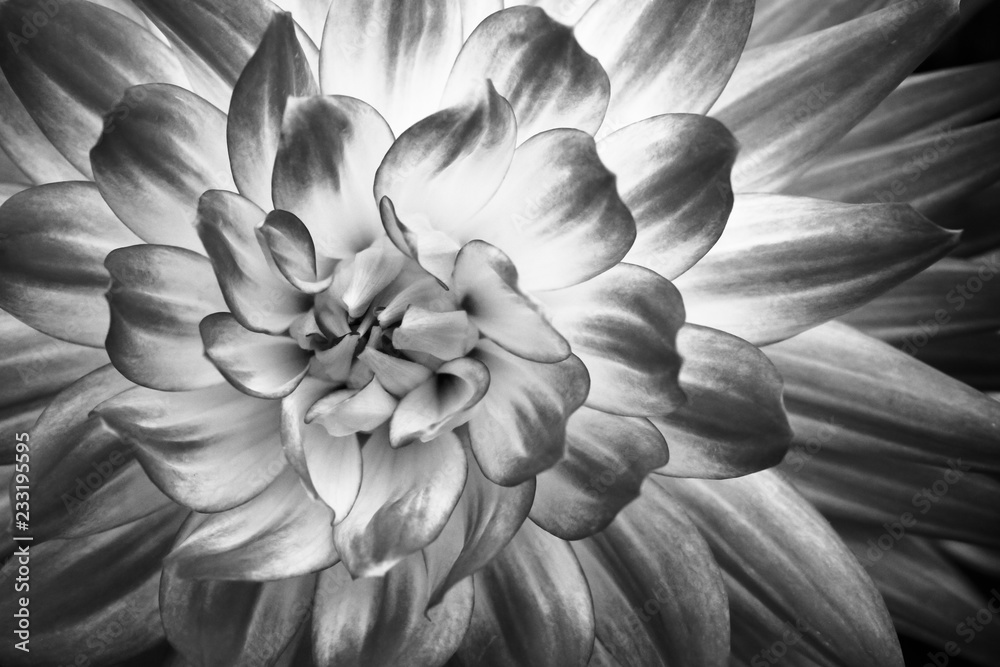 Fototapeta Details of dahlia fresh flower macro photography. Black and white photo emphasizing texture, contrast and intricate geometric floral patterns.