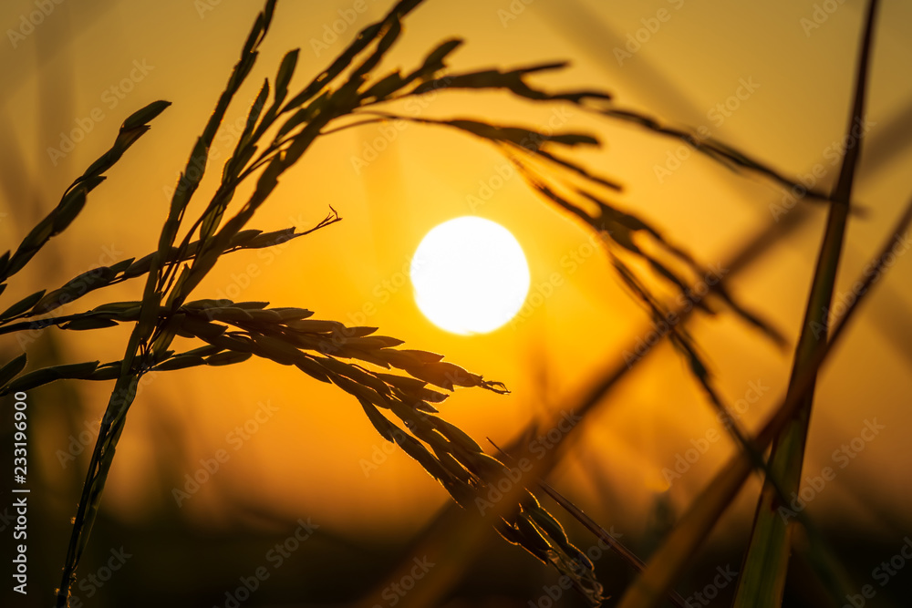 Fototapety, obrazy: Rice Spike in Sunset