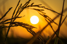 Rice Spike In Sunset