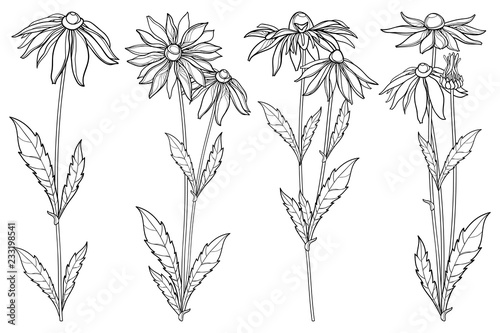 Fototapeta Vector set with outline Rudbeckia hirta or black-eyed Susan flower bunch, ornate leaf and bud in black isolated on white background