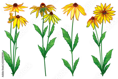 Valokuva  Vector set with outline Rudbeckia hirta or black-eyed Susan flower bunch, ornate green leaf and bud in yellow isolated on white background