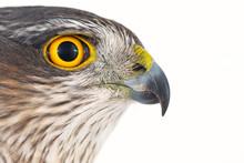 Eurasian Sparrowhawk (Accipiter Nisus) Female. Close-up Portrait