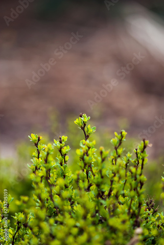 Fotografía  Tiny, young leaves begin to form on a barberry bush in a spring garden