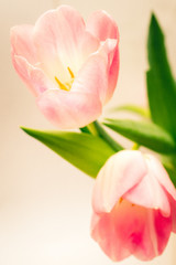 Fototapeta Tulipany pink tulips on white background