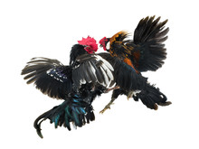 Cockfight Isolated On White