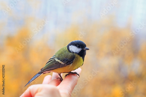 Fototapeta premium beautiful little bird tit is sitting on a person's fingers and is about to fly to the blue spring sky on a sunny, clear day in the garden