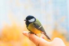 Cute Scared Little Bird Tit Is Sitting In The Palm Of A Person And Is Going To Fly Away To The Spring Sky On A Sunny Clear Day