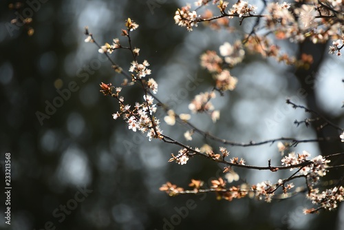 A branch of a flowering cherry tree in the garden.
