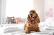 Cute Cocker Spaniel dog on bed at home. Warm and cozy winter