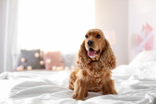Cute Cocker Spaniel Dog On Bed...