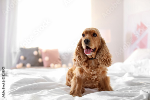 Photo Cute Cocker Spaniel dog on bed at home. Warm and cozy winter