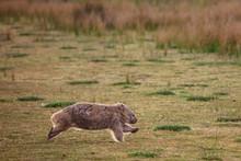 Wombat Running Through The Grassland At Wilsons Promontory National Park, Victoria, Australia