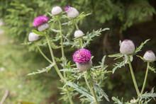 Flowers Of Silybum Marianum Kn...