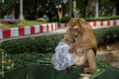 Poster Aap Monkeys are looking for food scraps from dirty trash to eat. Monkey eating food from dirty trash.