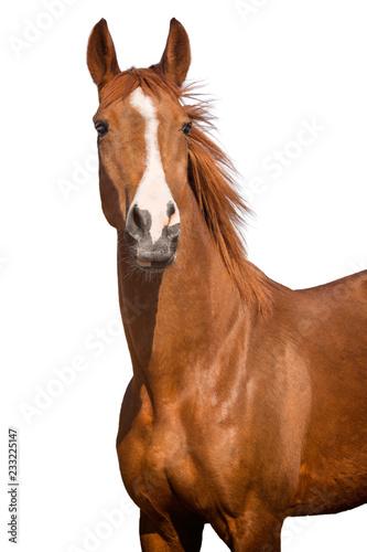 Foto auf Leinwand Pferde horse isolated on white background
