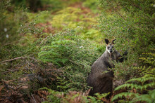 A Swamp Wallaby Feeds On The Local Vegetation In Wilsons Promontory National Park, Victoria, Australia