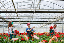 Gardeners Working While Standing Amidst Daisies At Greenhouse