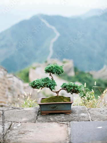 Bonsai tree on Great wall