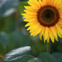 Close Up Of A Vibrant Yellow Sunflower In Evening Light