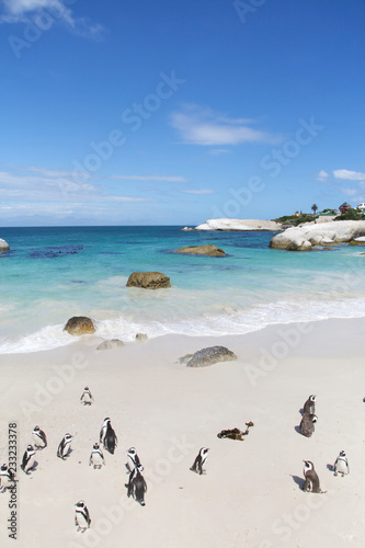 Fototapeta Penguins, Cape Town obraz