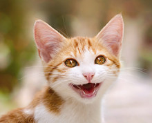 Young Kitten Meowing With Mout...