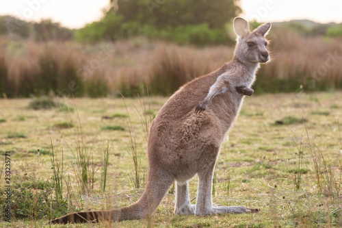Deurstickers Kangoeroe An eastern grey kangaroo encountered at sunset in Wilsons Promontory national park, Victoria, Australia