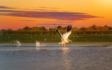 Pelican At Sunset Taking Off W...