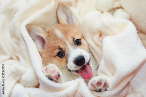 cute homemade corgi puppy lies in a white fluffy blanket funny sticking your tongue out