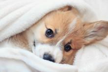 Cute Homemade Corgi Puppy Lies...