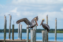 Two Brown Pelican (Pelecanus O...