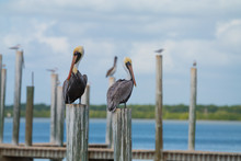 Two Brown Pelican (Pelecanus Occidentalis) Sitting On  Pier Poles On A Sunny Day