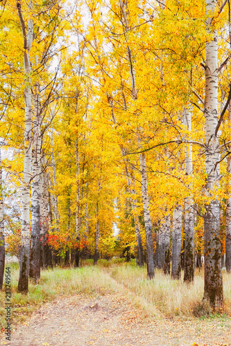 Fototapety, obrazy: Beautiful autumn in forest of birches Bogolyubovo