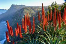 Red Flowers, Candelabra Aloe O...