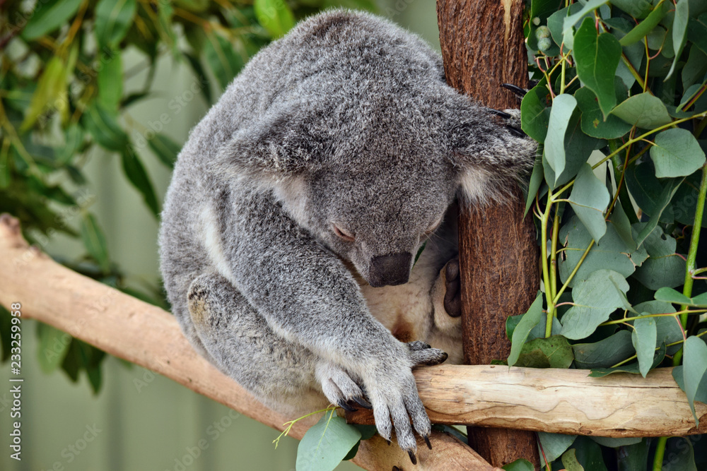Cute koala sleep on a tree branch eucalyptus