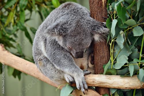 Cute koala sleep on a tree branch eucalyptus