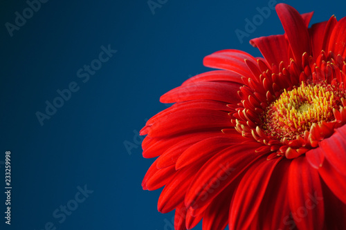 Staande foto Gerbera Red gerbera flower on a blue background