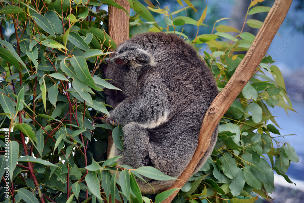 Cute koala is sleeping on a tree branch eucalyptus