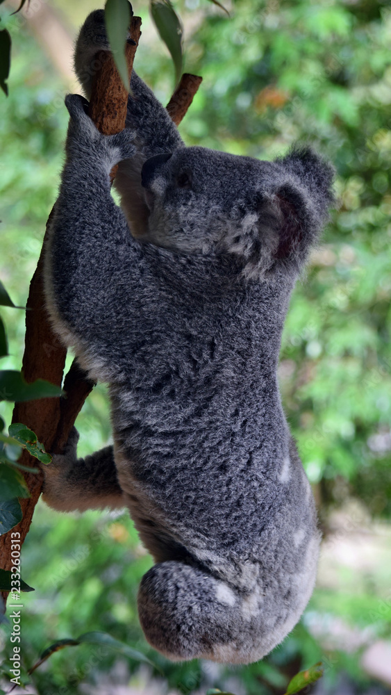Cute agile koala jumping  on a tree eucalyptus branch