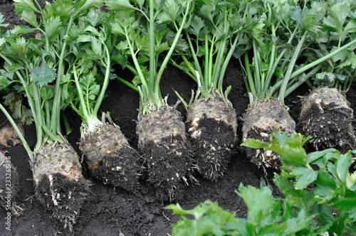 the stack of freshly harvested ripe celery (root vegetables)  in the vegetable garden