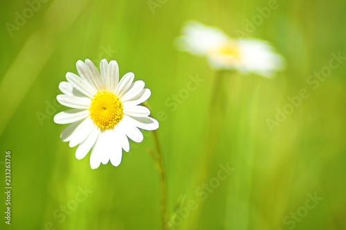 Staande foto Madeliefjes daisy in green grass