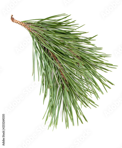 spruce branch isolated on white background