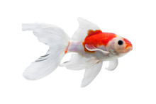 Gold Fish Isolated On White Background, Colorful Carassius Auratus