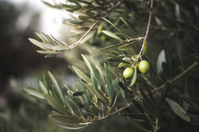 Green Olive Tree In Morocco