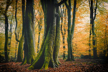 Autumn Color Of Beech Trees In Speulderbos