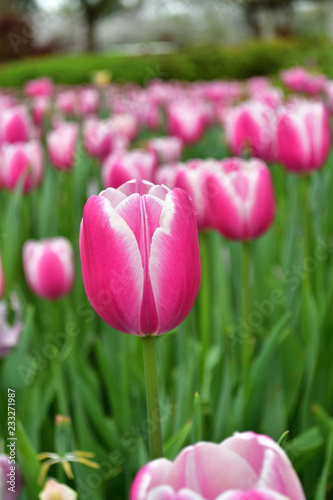 Photo  pink tulips in the garden