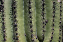 Saguaro Cactus Close Up, Arizona