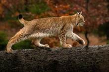 Young Lynx Cub Climbing Over Fallen Tree Trunk. Beautiful Autumn Colors In The Background. Lovely And Cute Animal. Endangered Species.