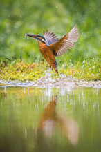 The Diving Common Kingfisher, ...